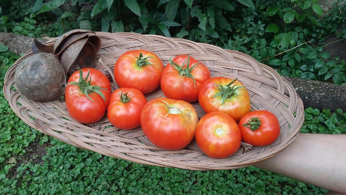 Cosecha de tomates